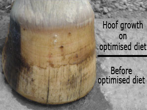 Feeding for hoof health